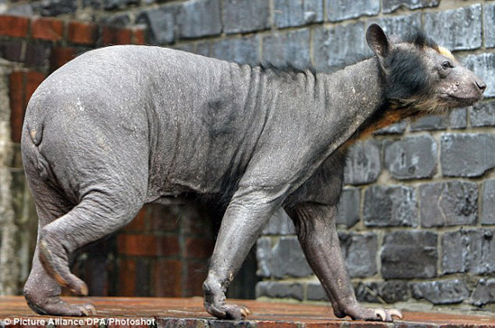 Hairless-Bear-2.jpg