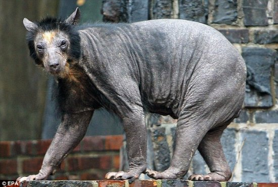 What the hell do you think it is? The-hairless-bear