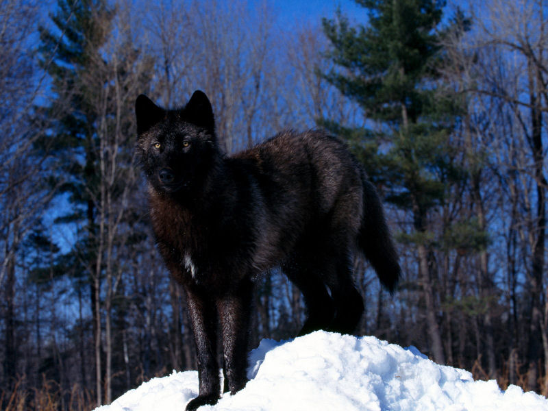 Black%20Wolf%20in%20Snow.jpg
