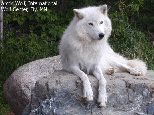 White-Wolf-Watching-wolves-6002876-539-405.jpg 25-40 kg in weight