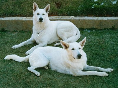 WhiteShepDoceCindy.JPG