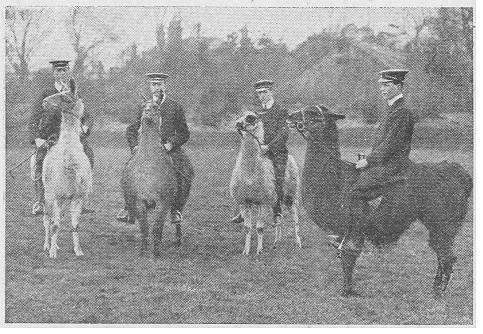 1910-llamas.jpg