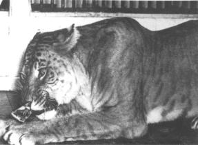 1947-tigon.jpg