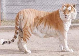 gold-tiger2.jpg