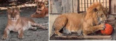 tigons.jpg