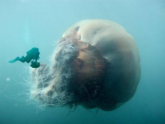 giant_jellyfish.jpg